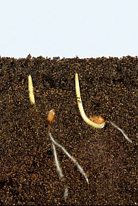 Wheat (Triticum aestivum) seeds germinating with development of roots and coleoptile covering of shoots. Image above and below ground.  -  Nigel Cattlin