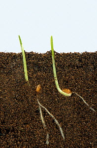 Wheat (Triticum aestivum) seeds germinating with development of roots and shoots, above and below ground.  -  Nigel Cattlin