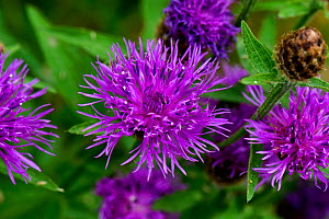 Greater knapweed (Centaurea cyanus). Berkshire, England, UK. July.  -  Nigel Cattlin