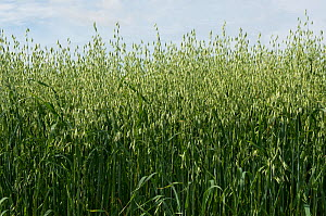 Oat (Avena sativa), green unripe crop. Berkshire, England, UK. July.  -  Nigel Cattlin