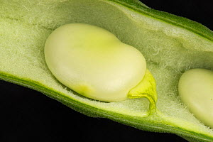 Broad bean (Vicia faba) seed in velvet lined pod, ripe and ready for harvest. Berkshire, England, UK. July. - Nigel Cattlin