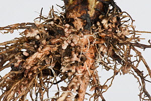 Broad bean (Vicia faba) roots with root nodules formed by Bacteria (Rhizobium sp) for nitrogen fixation.  -  Nigel Cattlin