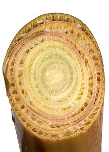 Banana (Musa x paradisiaca) cross section showing tightly packed leaves is pseudostem.  -  Nigel Cattlin
