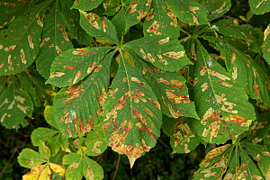 Horse chestnut leaf miner (Cameraria ohridella) larval damage to Horse chestnut (Aesculus hippocastanum) leaves. Berkshire, England, UK. August.  -  Nigel Cattlin