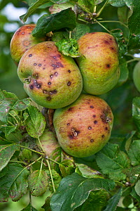 Apples (Malus domestica) with scab caused by Ascomycetes fungus (Venturia inaequalis). Berkshire, England, UK. September.  -  Nigel Cattlin
