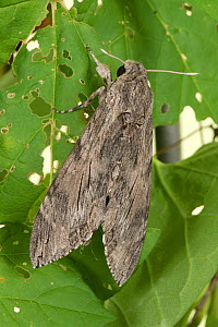 Convolvulus hawk moth (Agrius convolvuli) female resting on damaged leaf. Berkshire, England, UK. October.  -  Nigel Cattlin