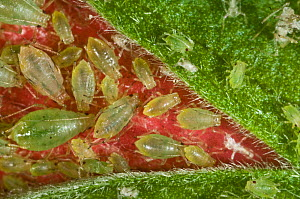 Glasshouse-potato aphid (Aulacorthum solani) colony on Hibiscus (Hibiscus sp) flower bud, house plant. - Nigel Cattlin