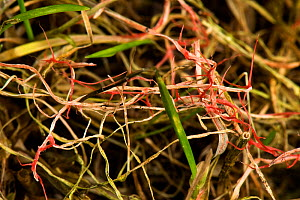 Red thread (Laetisaria fuciformis) damage and stromata from the disease on lawn grass. Berkshire, England, UK. February.  -  Nigel Cattlin