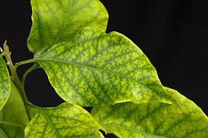 Iron deficiency symptoms with interveinal chlorosis on cultivated Bougainvillea (Bougainvillea sp) leaves. - Nigel Cattlin