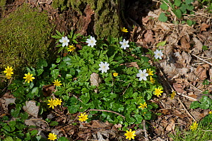 Wood anemone (Anemone nemorosa) and Lesser celandine (Ficaria verna) flowering on woodland floor. Hampshire, England, UK. March.  -  Nigel Cattlin