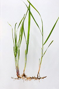 Common couch grass (Elymus repens) with rhizomatous roots, white background. - Nigel Cattlin