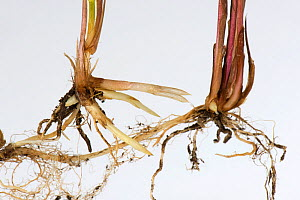 Common couch grass (Elymus repens) shoots and rhizomatous roots, white background. - Nigel Cattlin