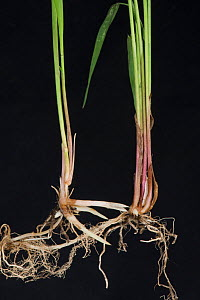 Common couch grass (Elymus repens) stems, shoots and rhizomatous roots, black background. - Nigel Cattlin