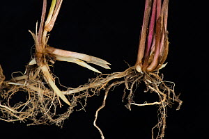 Common couch grass (Elymus repens) shoots and rhizomatous roots, on black background. - Nigel Cattlin