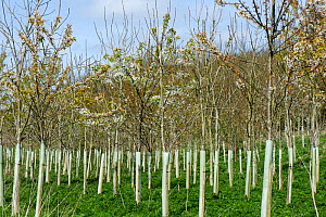 Plantation of young trees including Wild cherry (Prunus avium) and Ash (Fraxinus excelsior) with tree guards, trees to be used in woodland. Berkshire, England, UK. April. - Nigel Cattlin