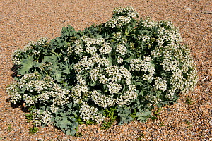 Sea kale (Crambe maritima) on gravel. Chesil Beach, Dorset, England, UK. May. - Nigel Cattlin