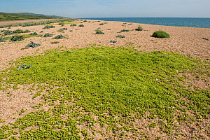 English stonecrop (Sedum anglicum), mat of plants on shingle with Sea kale (Crambe maritima) in background, Chesil Beach, Dorset, England, UK. May. - Nigel Cattlin