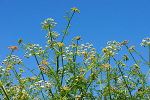 Hemlock water dropwort (Oenanthe crocata) flowers against blue sky. Chesil Beach, Dorset, England, UK. May. - Nigel Cattlin