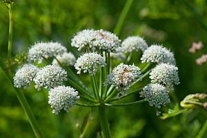 Hemlock water dropwort (Oenanthe crocata) umbel, Chesil Beach, Dorset, England, UK. May. - Nigel Cattlin