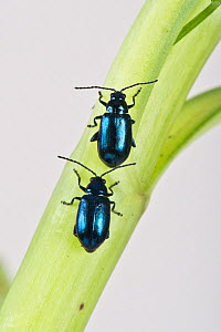 Metallic green flea beetle (Altica sp), two walking one behind the other up stem. Berkshire, England, UK. April. - Nigel Cattlin