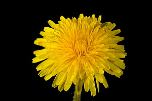 Dandelion (Taraxacum officinale) on black background. - Nigel Cattlin