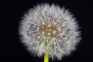 Dandelion (Taraxacum officinale) clock, seed head on black background. - Nigel Cattlin