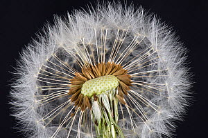Dandelion (Taraxacum officinale) clock, seed head with pappus, beak and achene for wind dispersal. - Nigel Cattlin