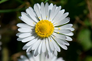 Daisy (Bellis perennis), composite flower with white ray florets and yellow disk florets. - Nigel Cattlin