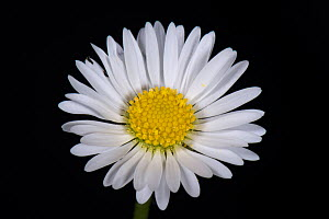 Daisy (Bellis perennis), composite flower with white ray florets and yellow disk florets, on black background. - Nigel Cattlin