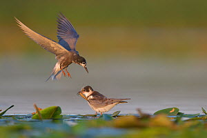 Black Tern (Chlidonias nigra) bringing food for its on the floating vegetation in the Nemunas Delta Nature Reserve, Lithuania.  -  Staffan Widstrand