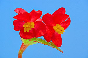 Stigmas in female flowers of single Wax begonia (Begonia semperflorens group) mimic pollen laden stamens produced by male flowers but offer no reward to pollinators, which land on them and pollinate t...  -  Heather Angel
