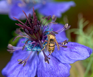 Wasp walking around a Spanish love-in-a-mist (Nigella hispanica) flower to sip nectar from ring of blue nectaries, thorax and abdomen pick up pollen from downward facing anthers that swipe over the wa... - Heather Angel