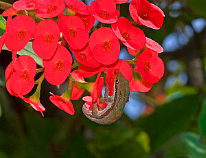 Day gecko (Phelsuma sp.) with extended tongue lapping up nectar from crown of thorns (Euphorbia milii) flower, Madagascar - Heather Angel