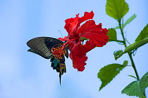 Chinese peacock butterfly (Papilio bianor) drinking nectar from a Hibiscus flower. To maintain position it flaps the wings which pick up pollen on their undersides from the stamens placed on the end o... - Heather Angel
