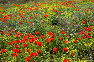 Grand-flowered horned poppies (Glaucium grandiflorum) in southern Turkey, June. - Heather Angel
