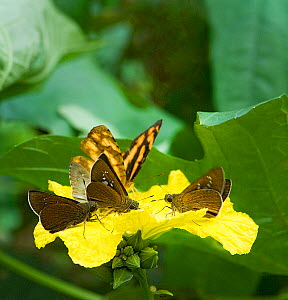 Butterflies and day flying moths feed from Loofah flower (Luffa cylindrica) and pick up pollen on their legs, underside of thorax and antennae, South Sichuan Bamboo Sea, China - Heather Angel