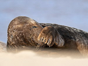 Grey seal (Halichoerus grypus) male with flipper ove nose, North Norfolk, England, UK, March.  -  David Tipling