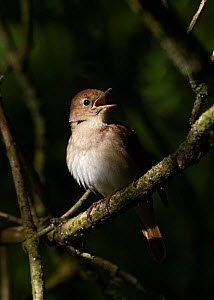Nightingale (Luscinia megarhynchos) male in song, Lodge Hill, Kent, May - David Tipling
