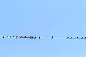 Amur falcons (Falco amurensis) perched on wire during migration, Nagaland, India. October.  -  Sylvain Cordier
