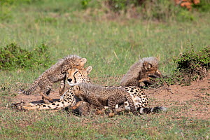 Cheetah (Acinonyx jubatus) female and cubs, five cubs suckling and playing around resting mother. Brood of seven cubs, a record for the area. Masai Mara National Reserve, Kenya.  -  Yashpal Rathore