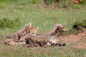 Cheetah (Acinonyx jubatus) cubs playing around resting mother. Brood of seven cubs, a record for the area. Masai Mara National Reserve, Kenya.  -  Yashpal Rathore