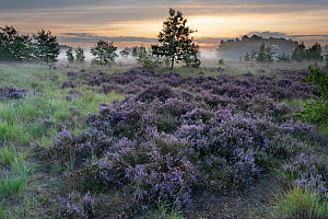 Heathland with Common heather (Calluna vulgaris) and scattered trees, mist in valley at dawn. Klein Schietveld, Brasschaat, Belgium. August 2019.  -  Bernard Castelein