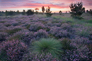 Deergrass (Trichophorum cespitosum) amongst Cross-leaved heath (Erica tetralix), heathland at dawn. Groot Schietveld, Wuustwezel, Belgium. June 2015.  -  Bernard Castelein
