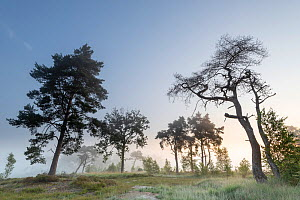 Scot's pine (Pinus sylvestris) and Common oak (Quercus robur) trees in early morning mist. Klein Schietveld, Brasschaat, Belgium. July 2019.  -  Bernard Castelein