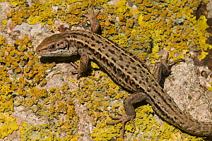 Viviparous lizard (Zootoca vivipara), male basking on lichen covered rock. Cote d'Opale / Opal Coast, France. May.  -  Bernard Castelein