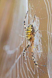 Wasp spider (Argiope bruennichi) on dew covered web. Peerdsbos, Brasschaat, Belgium. August.  -  Bernard Castelein