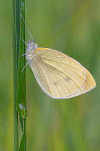 Small white (Pieris rapae) butterfly resting on grass stem. Peerdsbos, Brasschaat, Belgium. August.  -  Bernard Castelein