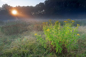 Tansy (Tanacetum vulgare) flowering in grassland on misty morning, sun visible through trees. Peerdsbos, Brasschaat, Belgium. July 2018.  -  Bernard Castelein
