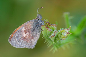 Small heath butterfly (Coenonympha pamphilus), wing covered in dew droplets. Klein Schietveld, Brasschaat, Belgium. August.  -  Bernard Castelein