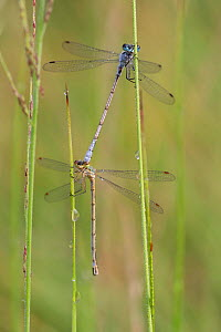 Small emerald spreadwing (Lestes virens) pair mating. Klein Schietveld, Brasschaat, Belgium. August.  -  Bernard Castelein
